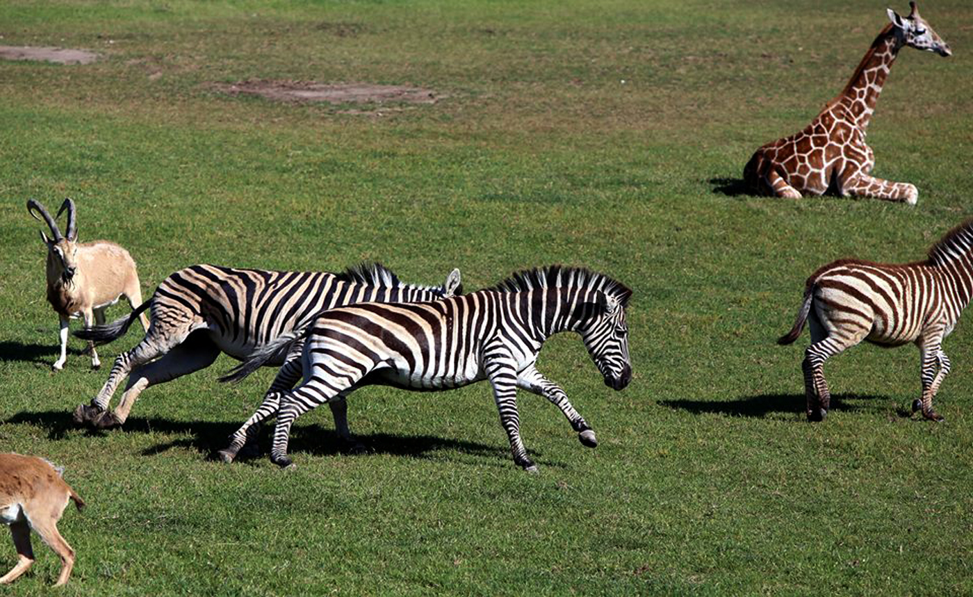 Zebras and Pals Kelby Anderko