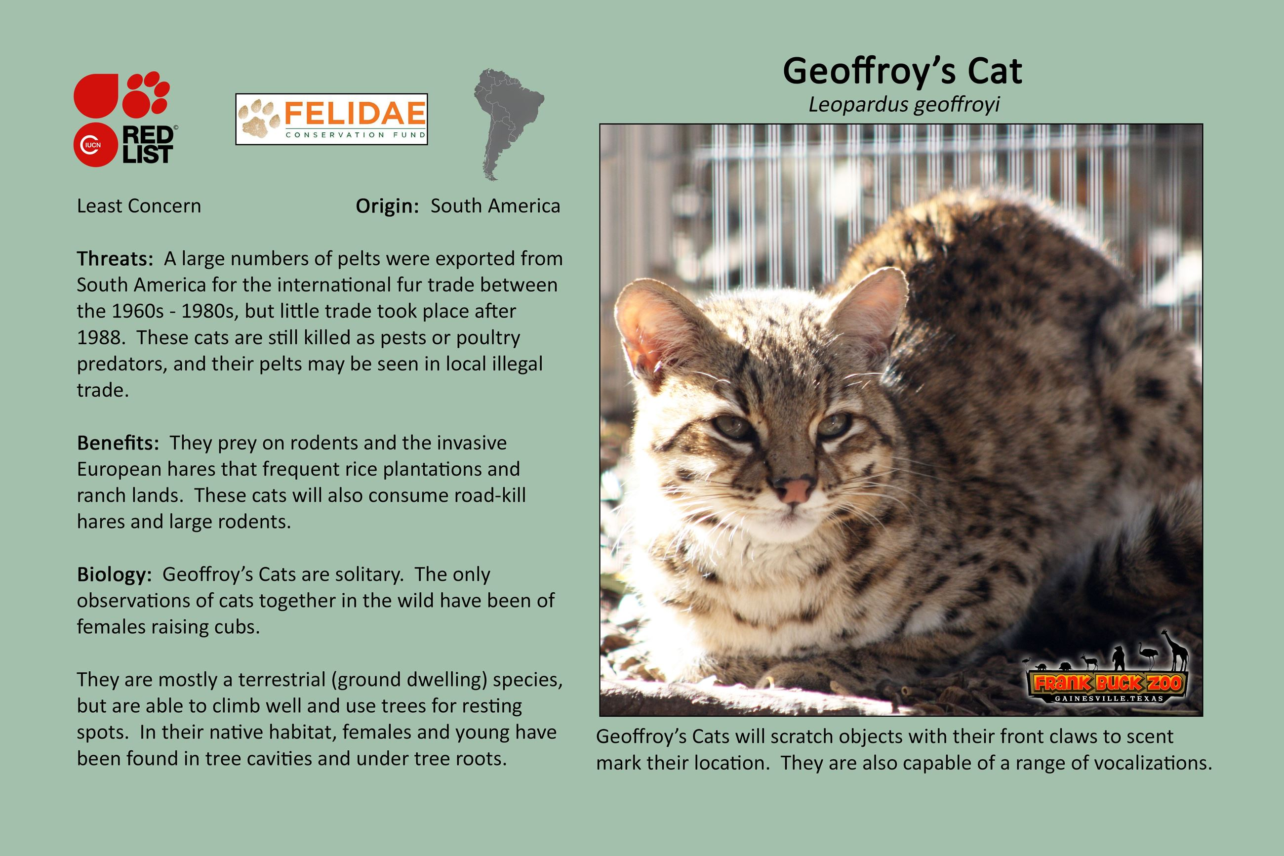 Geoffroys Cat