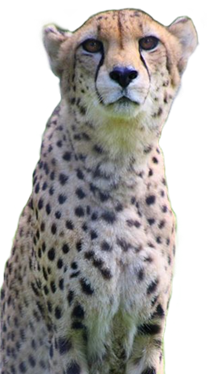 Cheetah.png