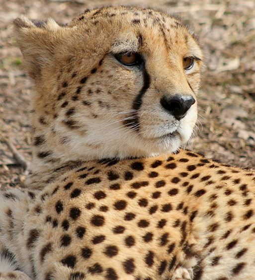 Closeup of a Cheetah laying on the floor