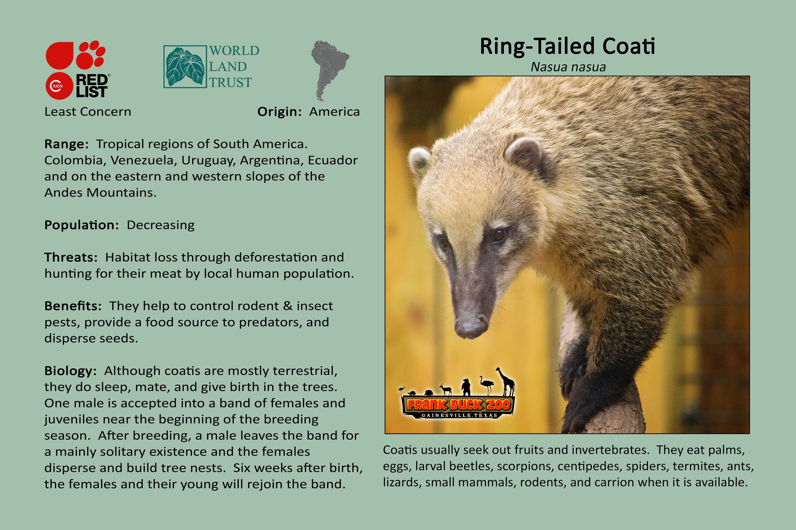 Ring-Tailed Coati   Gainesville, TX - Official Website
